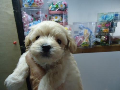 ミックスの子犬(ID:1250811070)の2枚目の写真/更新日:2019-04-02