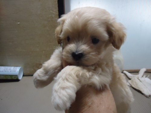 ミックスの子犬(ID:1250811070)の4枚目の写真/更新日:2019-04-02
