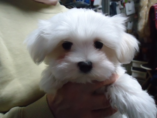 マルチーズの子犬(ID:1250811076)の1枚目の写真/更新日:2017-02-20