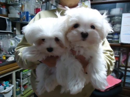 マルチーズの子犬(ID:1250811076)の3枚目の写真/更新日:2017-02-20