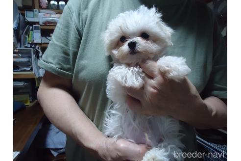 マルチーズの子犬(ID:1250811077)の1枚目の写真/更新日:2017-02-20