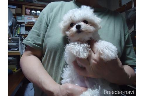 マルチーズの子犬(ID:1250811077)の2枚目の写真/更新日:2017-02-20