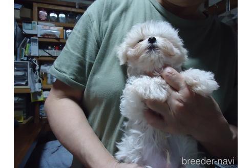 マルチーズの子犬(ID:1250811077)の3枚目の写真/更新日:2017-02-20