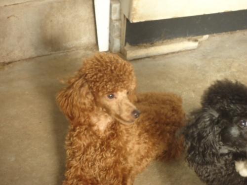 トイプードルの子犬(ID:1250811081)の2枚目の写真/更新日:2017-06-19