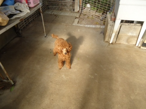 トイプードルの子犬(ID:1250811081)の3枚目の写真/更新日:2017-06-19