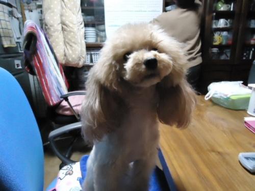 トイプードルの子犬(ID:1250811081)の4枚目の写真/更新日:2017-05-02