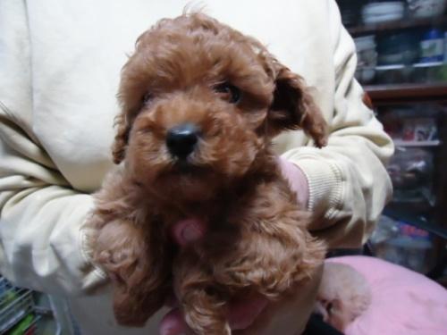 トイプードルの子犬(ID:1250811082)の1枚目の写真/更新日:2017-04-17