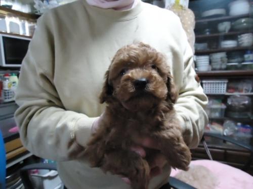 トイプードルの子犬(ID:1250811082)の2枚目の写真/更新日:2017-04-17