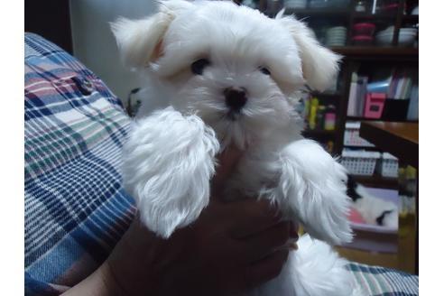 マルチーズの子犬(ID:1250811083)の1枚目の写真/更新日:2021-03-14