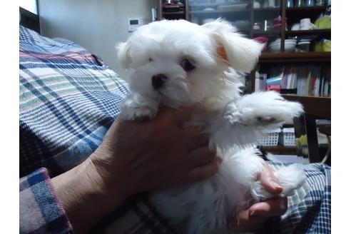 マルチーズの子犬(ID:1250811083)の2枚目の写真/更新日:2021-03-14