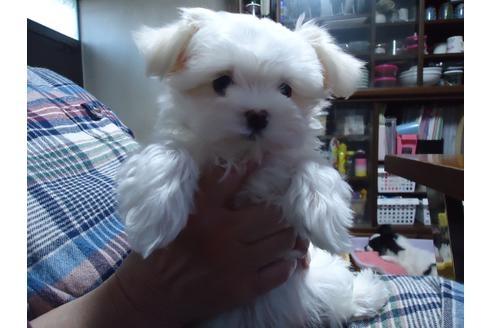 マルチーズの子犬(ID:1250811083)の3枚目の写真/更新日:2021-03-14