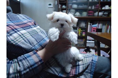 マルチーズの子犬(ID:1250811083)の4枚目の写真/更新日:2021-03-14