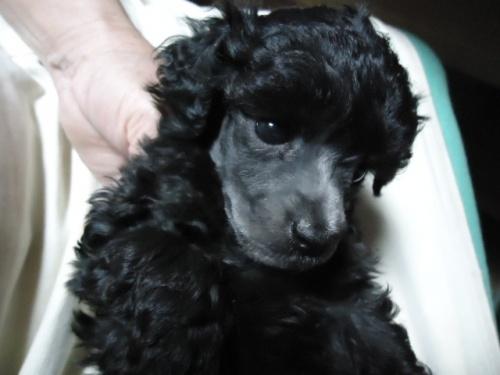 トイプードルの子犬(ID:1250811086)の1枚目の写真/更新日:2017-06-08
