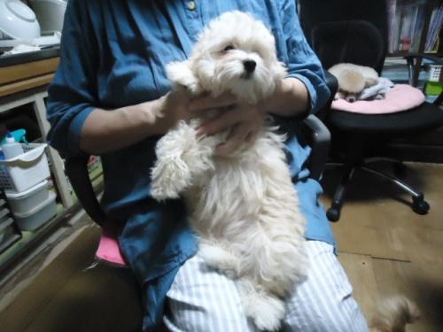 ミックスの子犬(ID:1250811087)の2枚目の写真/更新日:2017-06-13
