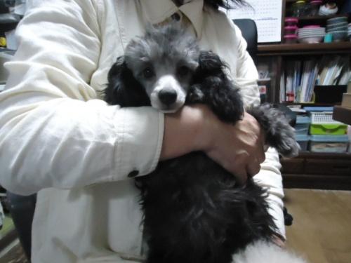 トイプードルの子犬(ID:1250811088)の1枚目の写真/更新日:2017-07-26