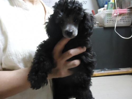 トイプードルの子犬(ID:1250811088)の3枚目の写真/更新日:2017-06-19