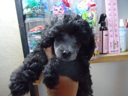 トイプードルの子犬(ID:1250811088)の4枚目の写真/更新日:2017-06-19