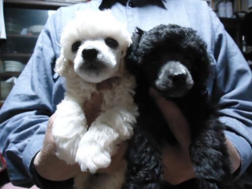 トイプードルの子犬(ID:1250811088)の5枚目の写真/更新日:2017-06-19