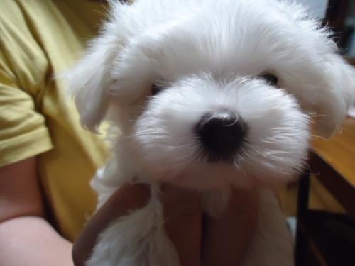 マルチーズの子犬(ID:1250811090)の1枚目の写真/更新日:2017-07-26