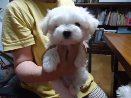 マルチーズの子犬(ID:1250811090)の2枚目の写真/更新日:2019-07-24