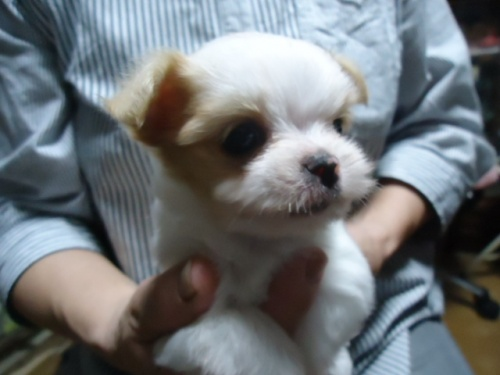 ミックスの子犬(ID:1250811091)の4枚目の写真/更新日:2017-08-03