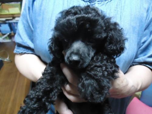 トイプードルの子犬(ID:1250811094)の1枚目の写真/更新日:2017-09-12