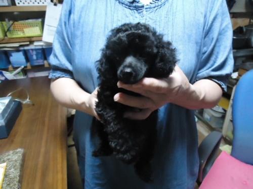 トイプードルの子犬(ID:1250811094)の3枚目の写真/更新日:2017-09-12