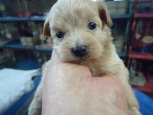 ミックスの子犬(ID:1250811095)の1枚目の写真/更新日:2017-09-12