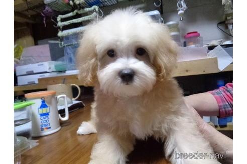 ミックスの子犬(ID:1250811096)の4枚目の写真/更新日:2017-09-12