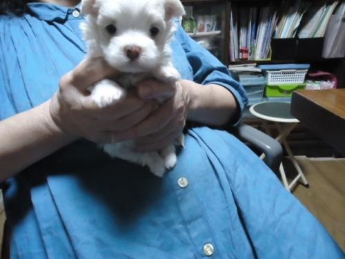 マルチーズの子犬(ID:1250811097)の2枚目の写真/更新日:2017-09-16