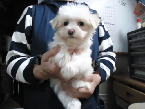 マルチーズの子犬(ID:1250811098)の1枚目の写真/更新日:2017-10-27