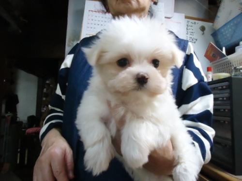 マルチーズの子犬(ID:1250811099)の1枚目の写真/更新日:2017-10-27