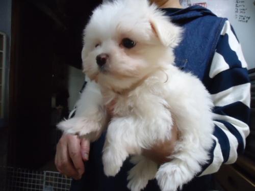 マルチーズの子犬(ID:1250811099)の2枚目の写真/更新日:2017-10-27