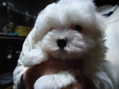 マルチーズの子犬(ID:1250811103)の1枚目の写真/更新日:2018-01-12