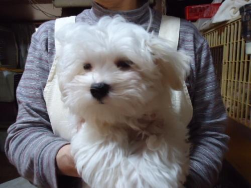 マルチーズの子犬(ID:1250811104)の1枚目の写真/更新日:2018-02-26