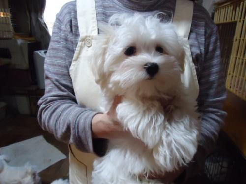 マルチーズの子犬(ID:1250811104)の2枚目の写真/更新日:2018-02-26