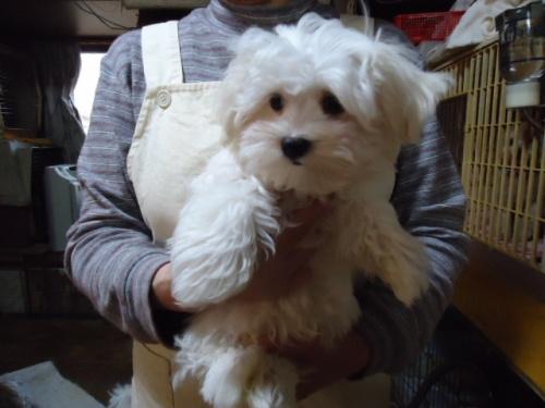マルチーズの子犬(ID:1250811104)の3枚目の写真/更新日:2018-02-26