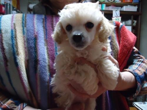 トイプードルの子犬(ID:1250811105)の1枚目の写真/更新日:2018-03-09