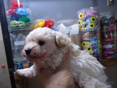 トイプードルの子犬(ID:1250811105)の2枚目の写真/更新日:2018-02-26
