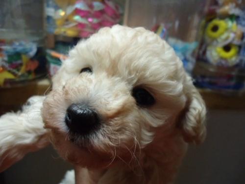 トイプードルの子犬(ID:1250811105)の3枚目の写真/更新日:2018-02-26