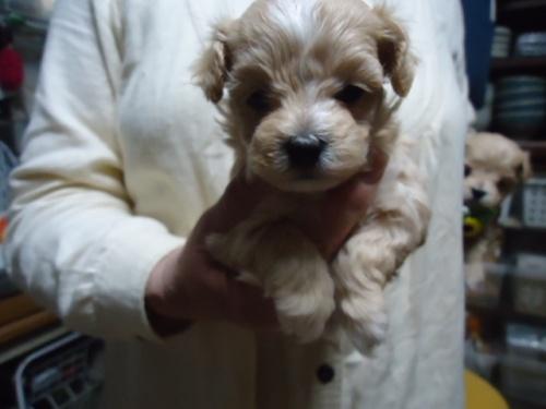 ミックスの子犬(ID:1250811109)の1枚目の写真/更新日:2018-06-18