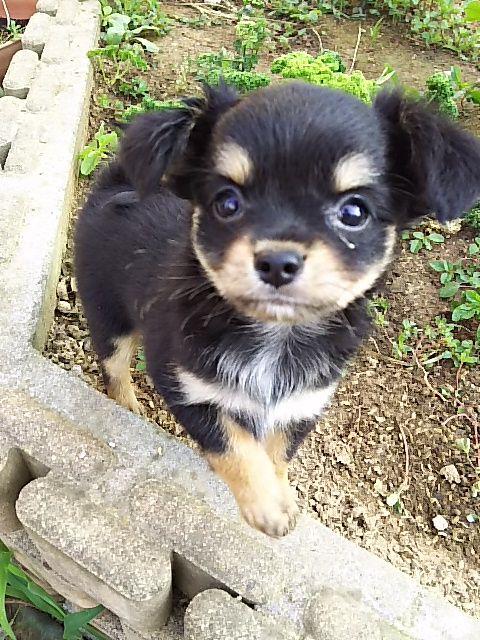 チワワ(ロング)の子犬(ID:1250911001)の1枚目の写真/更新日:2017-06-13