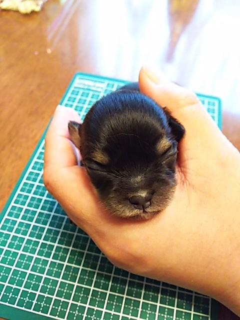 チワワ(ロング)の子犬(ID:1250911001)の2枚目の写真/更新日:2017-06-01