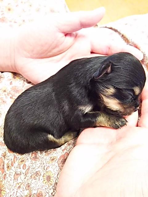 チワワ(ロング)の子犬(ID:1250911001)の5枚目の写真/更新日:2017-06-02