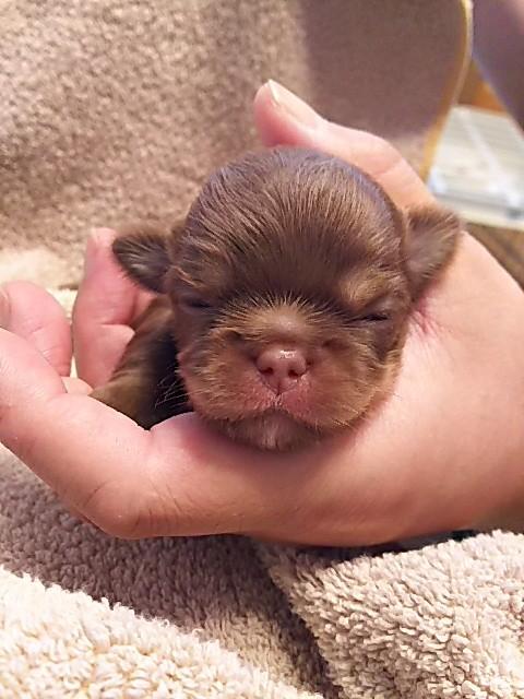 チワワ(ロング)の子犬(ID:1250911002)の1枚目の写真/更新日:2017-06-02