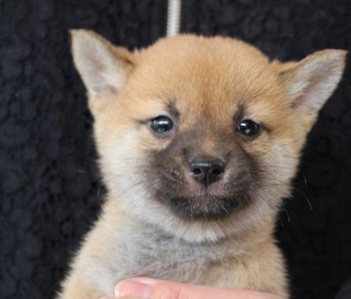 柴犬の子犬(ID:1251211054)の1枚目の写真/更新日:2018-05-31
