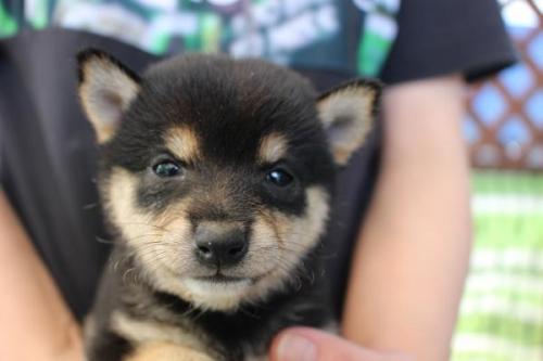 柴犬の子犬(ID:1251211058)の1枚目の写真/更新日:2018-05-28
