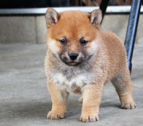 柴犬の子犬(ID:1251211060)の1枚目の写真/更新日:2018-06-03