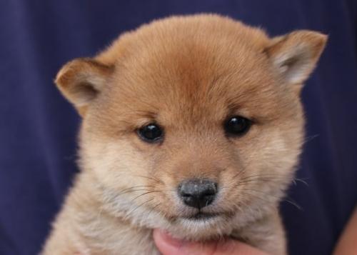 柴犬の子犬(ID:1251211061)の1枚目の写真/更新日:2018-05-31