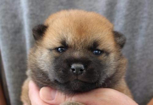 柴犬の子犬(ID:1251211066)の1枚目の写真/更新日:2018-05-31